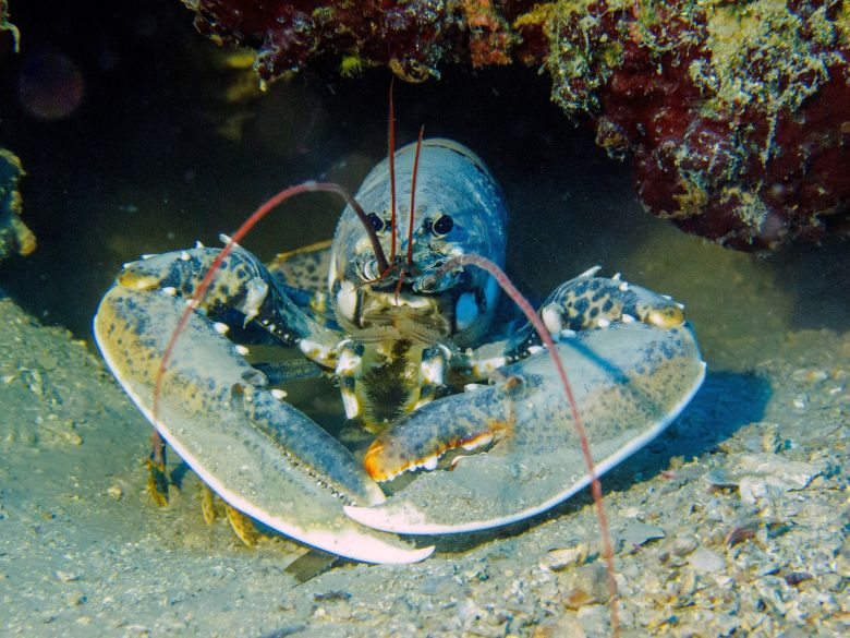 Croatia_diving_lobster