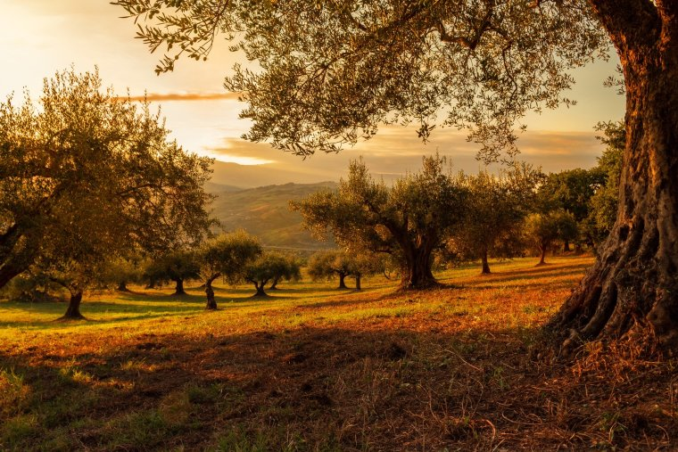 olives croatia